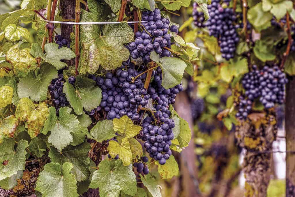 Grapes and grapevines are symbols of Mabon and of fertility.